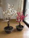 2014年2月頃開花予定紅と白梅梅ポット苗【お買い得】紅梅と白梅    二鉢でお買い得