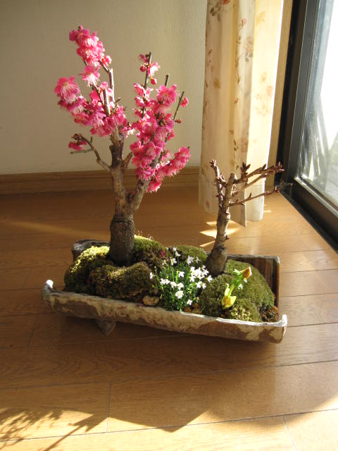 盆栽紅梅桜花盆栽:桜盆栽贈り物盆栽信楽鉢入り  梅盆栽 お届けは葉桜盆栽になります。送料無料 日本の美しさは 季節に咲く花に 梅と桜の寄せ植え盆栽
