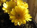 福寿の盛り合わせ2014年は福寿盛り 【福寿草】信楽鉢入り福寿草の盛り合わせ 現品かぎりとなります。 送料無料