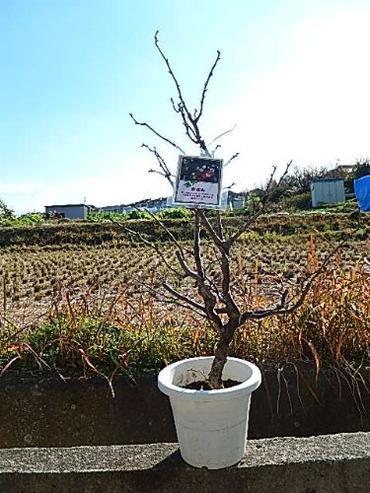 新春2018年運気雲竜梅 しだれ梅 栽培が容易で寿命が長く味わいがあります!  数量限定です! 2018年2月〜3月頃 開花 運気上昇 樹 梅苗 雲竜梅:ウンリュウバイ