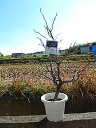 雲竜梅 しだれ梅 栽培が容易で寿命が長く味わいがあります!  数量限定です! 2017年 運気上昇 樹 梅苗 雲竜梅:ウンリュウバイ