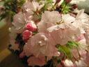 さくら盆栽 【桜盆栽】信楽焼き入り寿盆栽二点セット 2017年花芽付の桜盆栽となります。