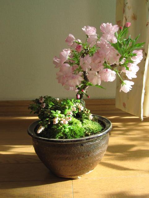 【桜盆栽】自宅でお花見桜盆栽2018年春に桜が...の紹介画像3