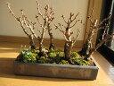 自宅でお祝いのお花見さくら盆栽2021年4月開花の桜満開を楽しむ桜盆栽桜の方舟桜盆栽盆栽豪華にラッキーの7 7本の桜盆栽幸せを呼ぶ桜盆栽
