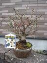 梅盆栽 2017年2月末頃開花予定盆栽: 白梅盆栽梅盆栽 開花の梅花も香りもすばらしいです。  ちなみに海外でも BONSAI ボンサイと言います。 玄関を彩る梅の花  白梅