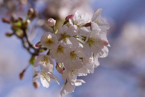 樱桃树盆景 樱桃树盆景图片欣赏 樱桃树图片大全图片