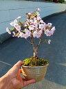 さくら盆栽お届けは葉桜盆栽となります。桜盆栽信楽鉢入り御殿場桜盆栽 一重のピンクのサクラのお花がかわいいですよ【楽ギフ_包装】【楽ギフ_包装選択】【楽ギフ_メッセ】【楽ギフ_メッセ入力】