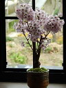 2021年開花予定御殿場桜盆栽 桜:ミニ盆栽桜 のリビングで お花見ができるさくら盆栽 御殿場桜桜盆栽
