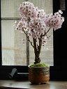 自宅でお花見が楽しめる桜盆栽4月中頃開花予定 一重のピンクのサクラのお花がかわいいですよ【桜盆栽】御殿場桜盆栽ミニ盆栽桜御殿場桜桜盆栽
