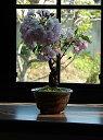 盆栽パッと咲く咲く【桜盆栽】 2017年4月にお花見桜盆栽で 花芽付の桜盆栽となります。
