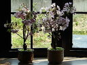 【八重桜】自宅でお花見が楽しめる2鉢でお買い得 一つは自宅用 もう一つはプレゼン用に桜で自宅でお花見ができます2017年花芽付の桜盆栽となります。桜盆栽