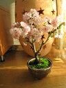 盆栽桜桜盆栽でお花見さくら盆栽桜盆栽