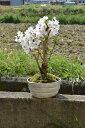 自宅でお花見桜盆栽2021年4月頃開花ソメイヨシノ盆栽サクラといえば染井吉野サクラの盆栽です