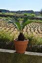 蘇鉄 ソテツ鉢植え