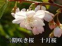 冬の時期に咲く10月桜2018年開花予定...