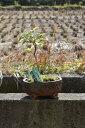 ジンチョウゲ鉢植え斑入り白沈丁花花の香りがいいかおりがします。 開花は毎年三月 自然の香水 信濃錦沈丁花