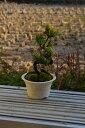 母の日ギフト 五葉松盆栽 信楽鉢入 松盆栽は丈夫で育てやすい品種ですミニ盆栽は贈り物におすすめです