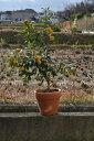 2019年9月〜2020年1月きんかん果樹実付ですキンカン鉢植え金柑鉢植えミニミカン