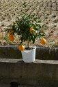 デコポンプラ鉢植 2019年9月〜2019年12月頃までは実付です みかんの木不知火鉢植え実がついています。 ビタミンCは 免疫力アップみかん鉢植え収穫は1月〜2月頃です