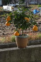 デコポン鉢植2019年10月〜2019年12月迄実付です みかんの木不知火鉢植え実がついています。 ビタミンCは 免疫力アップ ミカン鉢植え