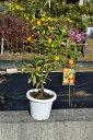 2019年9月〜2020年2月きんかん果樹実付ですキンカン鉢植え金柑鉢植えミニミカン