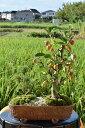 大切な人への贈り物盆栽【姫りんご】【五葉松】【寄せ植え】【ギフト】