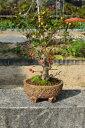 深山カイドウ盆栽  実物盆栽 高さ20センチ前後
