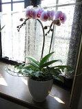 【ギフト】 胡蝶蘭とアイビーの寄せ植え