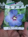 ムクゲ ブルーバード2016年開花終了苗 ブルー色に咲くムクゲです。