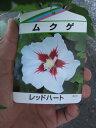 ムクゲ  木槿レッドハート2020年7月開花苗