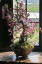 ハナカイドウ桜桜盆栽盆栽:花海棠桜ハナカイドウ桜盆栽春にお花見ができます鉢花 2017年花芽付の桜盆栽となります。