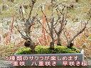 盆栽桜の方舟桜盆栽豪華桜5種桜寄せ植え桜盆栽 【送料無料】【御殿場桜・南殿桜・旭山桜 楊貴妃桜 オカメ桜 5種類の桜】 2017年花芽付の桜盆栽となります。送料無料海外でも BONSAI ボンサイと言います。