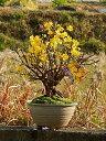 オウバイ黄梅 梅盆栽 黄色の小さいお花が 二月頃に開花します
