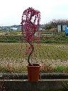 しだれ梅苗しだれ梅 八重 紅色 しだれ梅  特大 樹高さ 1.5m前後   枝垂れ梅 シダレ梅 庭木 送料無料花が咲いた姿が楽しみなしだれ梅