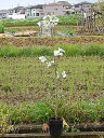 ハナミズキ苗木ハナミズキクラウドナイン 記念の植樹に白い花水木シンボルツリー 【ハナミズキ 苗木】 ハナミズキ白花 クラウドナイン