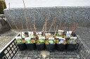 山紫陽花いろんな山アジサイで庭を少しにぎやかに12種類当店お任せセット 育てる事が楽しくなるいろんな【あじさい】小苗送料無料です。2016年開花終了剪定後の状態でお届けとなります