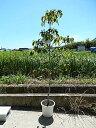 ハナミズキ 苗花水木2016年開花終了しました。ハナミズキ白花 クラウドナインシンボルツリー 【ハナミズキ 苗木】  高さ 約150センチ前後の大苗です。