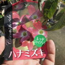ハナミズキ苗開花終了しました。レッドジャイアント花水木 ハナミズキ苗木 2016年開花アカ花 ハナミズキ高さ 50センチ〜60センチ前後ハナミズキ 苗木
