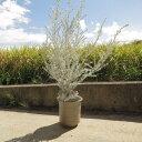 エレモフィラ ニベア 【鉢植え】エレモフィラ ニベア