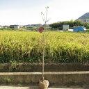 ハナミズキ苗゜シンボルツリー  花水木 150センチ前後 大苗アカ花 寝巻苗 ハナミズキ