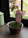 5月に開花母の日プレゼントに2017年開花ハナミズキ鉢花花水木 ミニサイズの花ミズキです