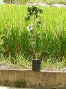 ハナミズキ苗木ハナミズキクラウドナイン記念の植樹に花水木シンボルツリー 【ハナミズキ 苗木】 秋には実もなりますアメリカハナミズキ苗2017年開花苗