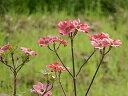 ハナミズキ苗ハナミズキのお庭に 5本セットのシンボルツリーで 【庭木】 ハナミズキアカ花 ハナミズキおすすめ花水木2016年開花終了しました。
