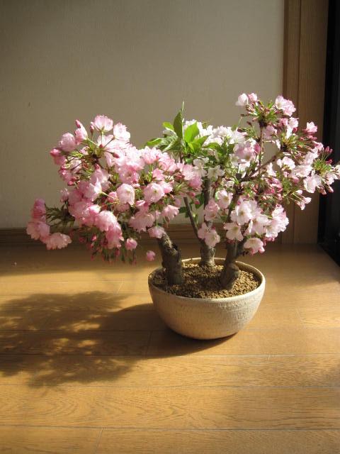 盆栽桜盆栽桜の盛り合わせ3種類のサクラのお花がこの一鉢で楽しめます。豪華桜3種桜寄せ植え桜盆栽 2017年花芽付の桜盆栽となります。送料無料海外でも BONSAI ボンサイと言います。  桜の寄せ植え盆栽春にはいろんな桜を見よう開花は毎年 4月中頃豪華な桜 3本立て開花時期 四月初旬~中頃