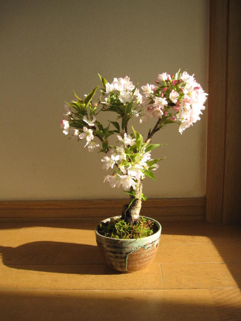八重桜 【桜盆栽】 八重咲桜 鉢植え 2019...の紹介画像2