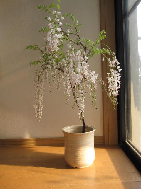 シロ藤信楽鉢入り藤盆栽 白藤 2016年開花終了しました。清涼感のある葉藤盆栽となります。 信楽鉢入り