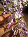 【ポット苗】庭木:【藤】  開花は2015年春 四月中頃〜下旬です。