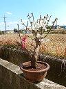 梅盆栽2016年誕生日お祝い事に紅白梅紅と白梅の梅盆栽訳あり品梅紅白梅ポット入り 2016年2月25日開花中 お買い得品 限定5個