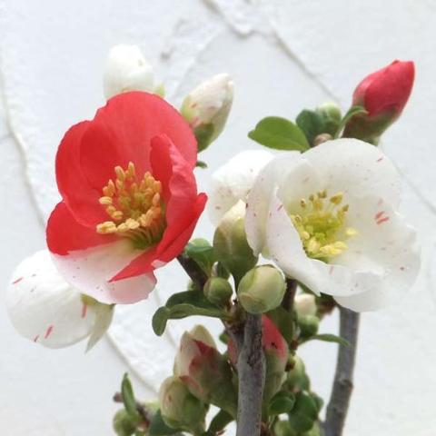ボケ盆栽日月星 咲き分け木瓜日月星