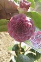椿 至宝紫に咲く椿 【庭木】 【ツバキ】椿苗 椿 至宝